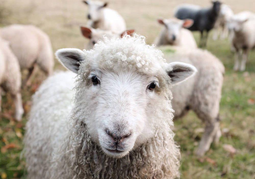 highland2000-wool